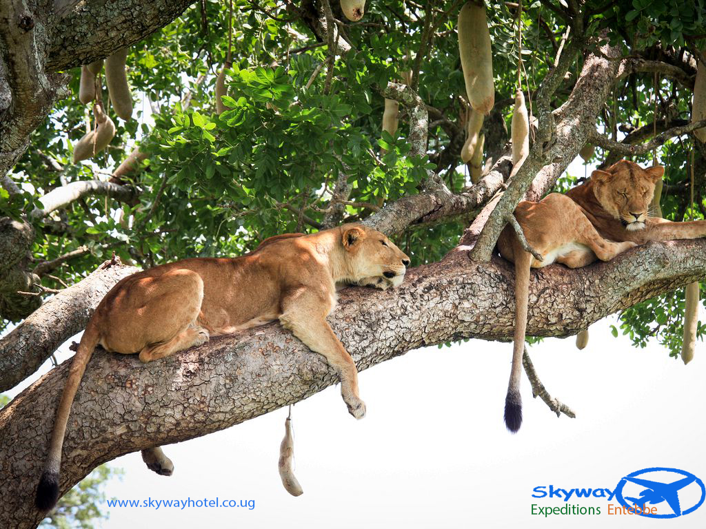 Tree climbing lions at Kidepo