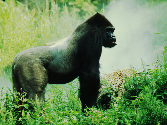 Mountain gorilla silver black