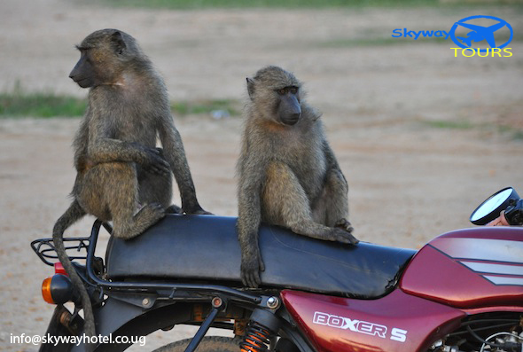 Baboon bikers in Murchison; photo by David